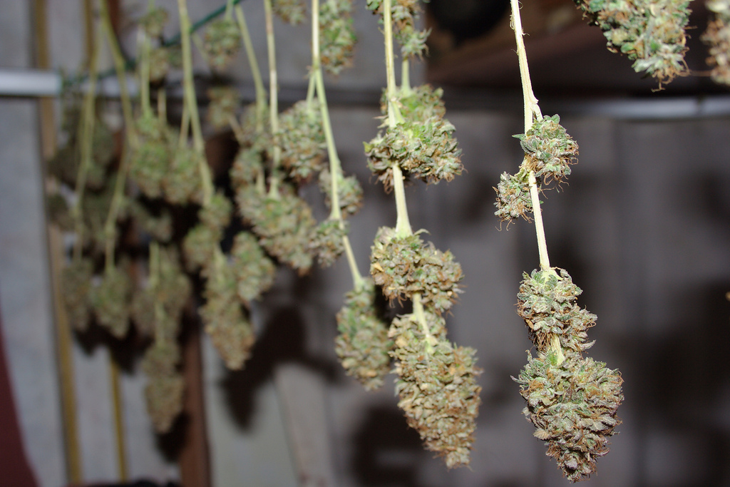 Brief: Tweed, Canadian MMJ Company, Now Hiring Experienced Trimmers