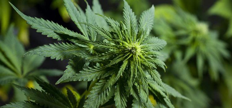 Marijuana Synonyms & Slang Words for Cannabis | Ganjapreneur