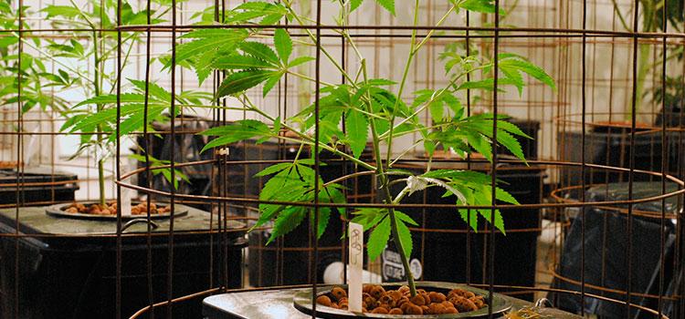 application to grow canabis ausralia